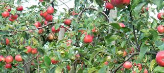 jennys äpple